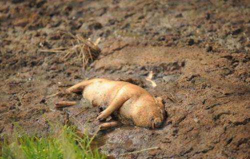 A dead pig in China's eastern Zhejiang province on March 14, 2013