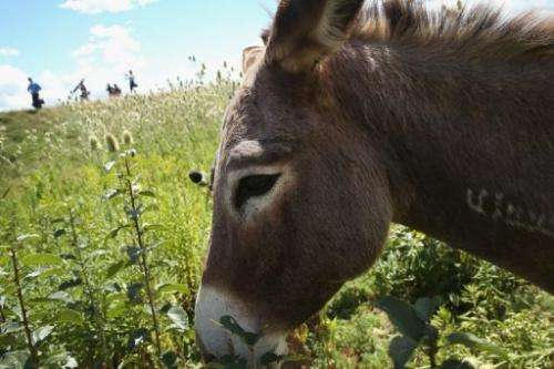 A donkey grazes on a two-acre plot of land at O'Hare Airport  in Chicago on August 13, 2013