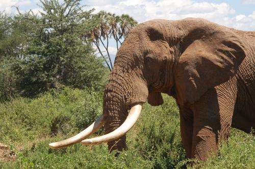Age and legality of ivory revealed by carbon-14 dating can fight poachers