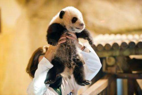 A keeper holds three month old giant panda Xing Bao during his presentation to the press at Madrid's Zoo on December 5, 2013
