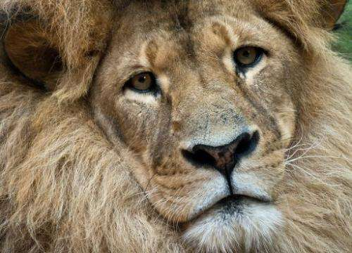 A lion called Bruiser rests in its enclosure at the Taronga Zoo in Sydney on January 8, 2013