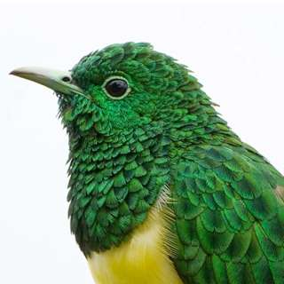 Alumnus uncovers how cuckoo's feathers shimmer