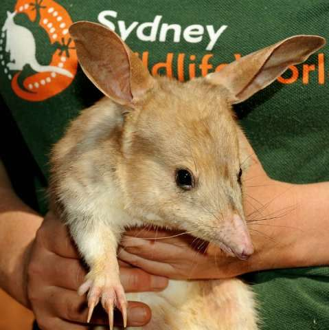 A male bilby is shown at Sydney Wildlife World, September 11, 2009