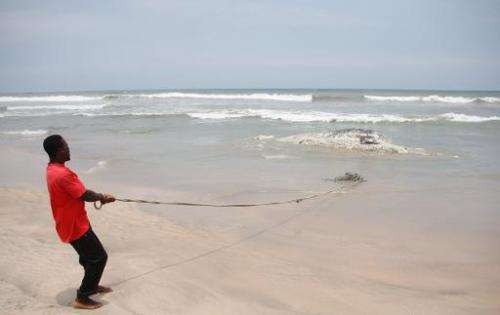 A man pulls at a rope tied to a dead whale on September 5, 2013 in Kokrobite, a coastal village just outside Accra
