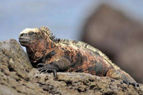 A marine iguana at Floreana island, Galapagos Islands, Ecuador, in May 9, 2009