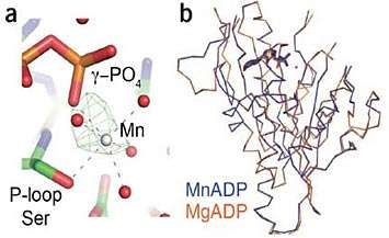 A metal switch to control motor proteins
