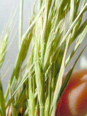 A model grass gets its genomic profile