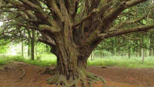 Analysis of yew wood