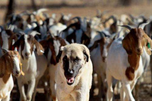 Anatolian Shepherd dog Bonzo leads goats on a farm near near Gobabis, east of the capital Windhoek, on August 15, 2013