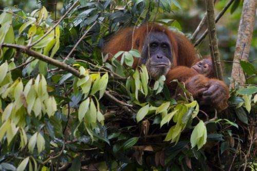 An endangered Sumatran orangutan cradles her baby on a tree top nest in the forest of Bukit Lawang in Indonesia