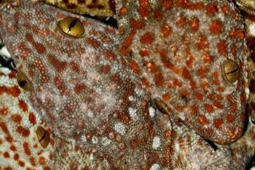 An orange-spotted Tokay Gecko is shown in Betong town near the Malaysia-Thai border in 2011