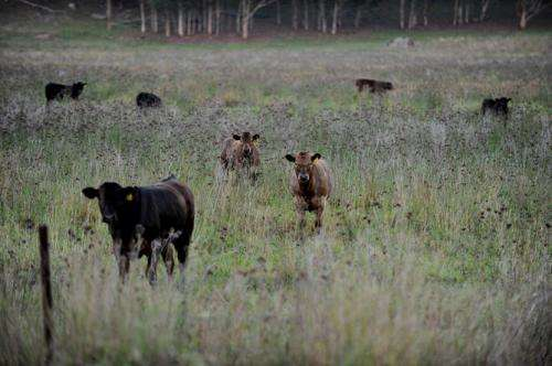 Anthrax kills cows in NSW's north: Experts respond