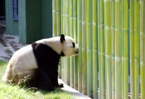 A panda takes a look around at Madrid zoo, on September 19, 2007.