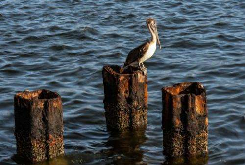 A pelican remains on Havana harbor, on April 18, 2013