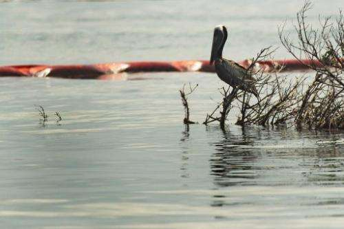 A pelican rests near an oil slick boom on June 14, 2010, in Grand Isle, Louisiana