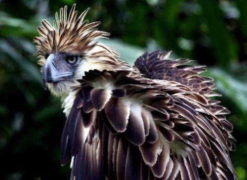 A Philippine Eagle (Pithecopaga jefferyi) is shown at the Philippine Eagle Center, Davao City, in 2011