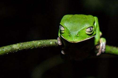 A Phyllomedusa distincta, or monkey frog, at Salto Morato Nature Reserve in Parana province on October 23, 2012
