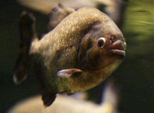 A piranha is seen on September 29, 2010 at an aquarium in Dubai