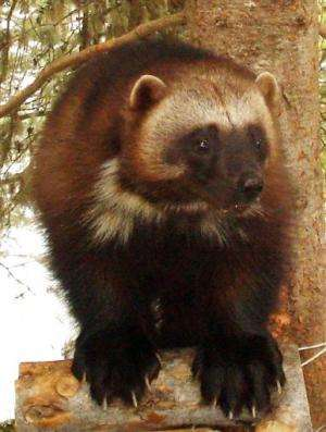 APNewsBreak: US: Warming imperils wolverines