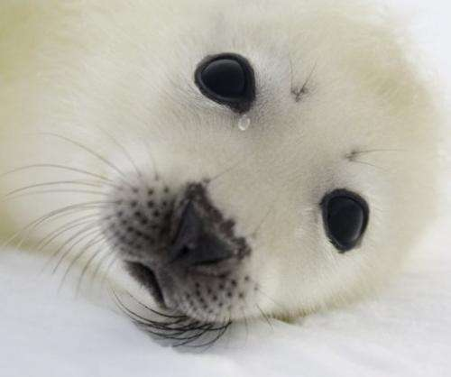 A pup harp seal rests on the ice floes on March 3, 2008, off the coast of the Magdalen Islands, Quebec