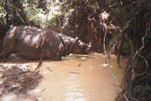 A rare Javan rhino drinks at a watering hole at Indonesia's Ujung Kulon National Park in 2012. There are thought to be only arou