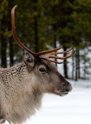 A reindeer on the E10 highway between Gallivare and Lulea in Swedish lapland on November 18, 2012