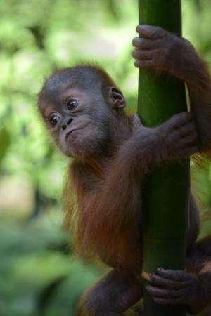 "A rescued baby male Sumatran orangutan, named ""Gokong Puntung"", whose mother was beaten up by poachers"