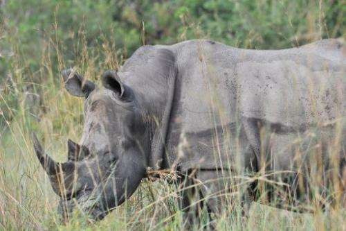 A rhinoceros resting in the Kruger National Park near Nelspruit, South Africa, on February 6, 2013