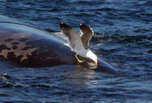A seagull pecks the back of a whale in Patagonia, in an undated picture released by the CENPAT-CONICET institute