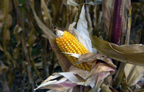 A second genetically-modified corn crop looks set for authorisation in the European Union unless there is a sudden change in the
