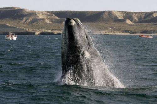 A Southern Right Whale rises out of the water in the New Golf, Peninsula Valdes, Argentina in June 2006