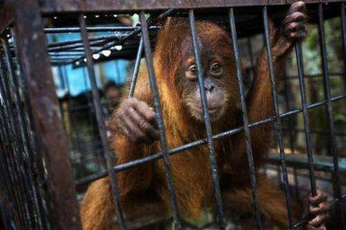 A Sumatran orangutan in a zoo on the outskirts of Kandang town in Aceh province on Sumatra island, June 9, 2013