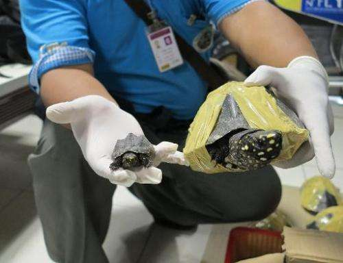 A Thai official displays seized Black Pond turtles after they were discovered in suitcases at Bangkok's Suvarnabhumi Airport on