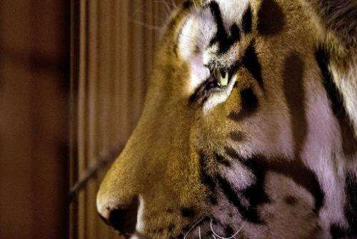 A tiger looks through his enclusure at a zoo in Muenster, western Germany, on September 19, 2013