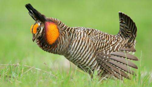 Attwaters Prairie-Chicken