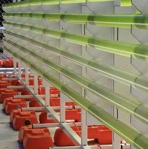 Aussie algae fuel green oil hope
