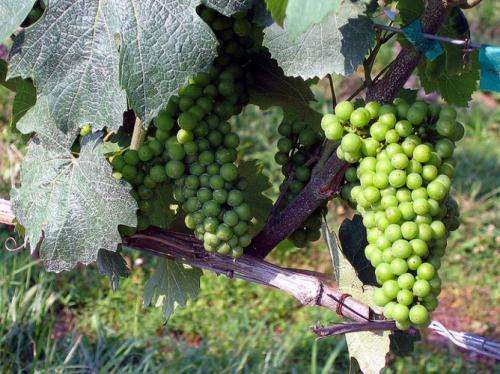 Australian wine industry tackling climate change