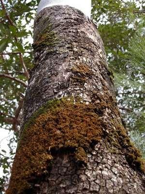 Australia's gum trees 'at risk'