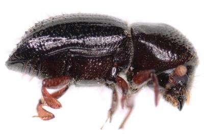 Avocado farmers face unique foe in fungal-farming beetle