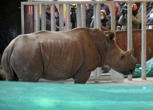A white female rhinoceros that was raised at a South African farm, at the Amneville zoo in France, on February 2, 2012,
