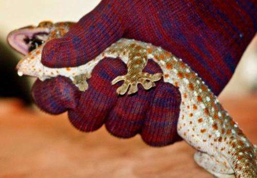 A wildlife trade monitoring network says populations of the Tokay Gecko are declining in Asia