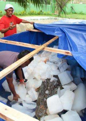 A worker puts ice blocks on the remains of saltwater crocodile, named 'Lolong,' on February 11, 2013