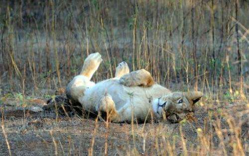 A young Asiatic Lion rests in the Gir Forest National Park and Wildlife Sanctuary in Gujarat, India on December 25, 2010