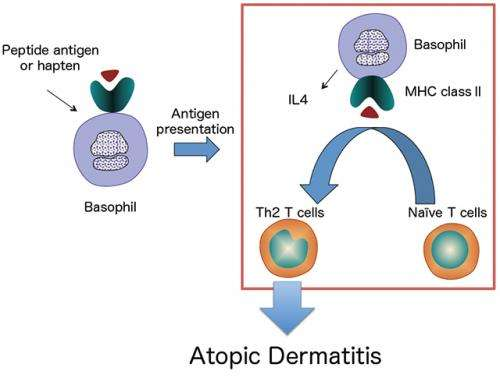 Basophils required for the induction of Th2 immunity to haptens and peptide antigens