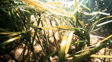 Bay's underwater grasses decline for third year
