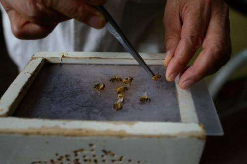 Bees are prepared by a doctor of traditional Chinese medicine at an acupuncture clinic in Beijing on August 2, 2013