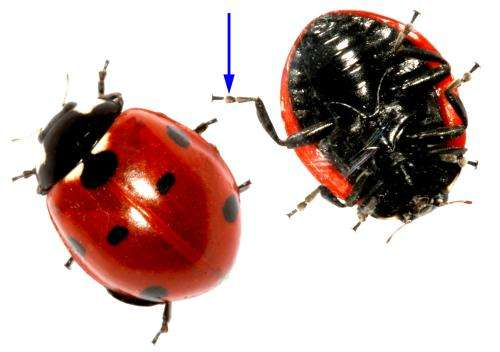 Beetles in rubber boots: Scientists from Kiel University study ladybirds' feet