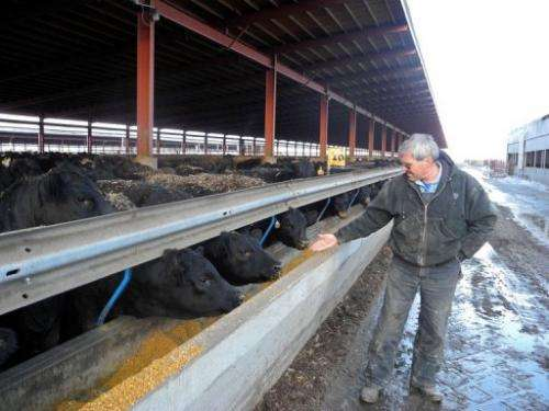 Bill Couser pets his cows at his farm on March 6, 2013 in Nevada, Iowa