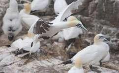 Bird-borne cameras reveal gannet habits