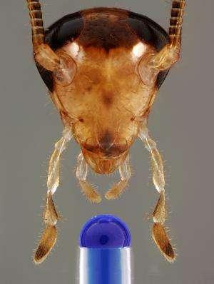 Bittersweet: Bait-averse cockroaches shudder at sugar